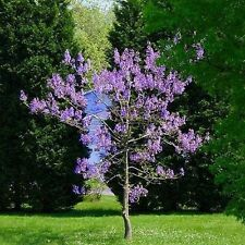 ROYAL EMPRESS Paulownia TREE Fastest Growing Tree - Spring Flowers Large Leaves