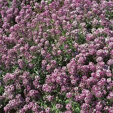 Alyssum 'Royal Carpet' 1500 Seeds HH Annual Flower