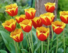 """10 x BELLISSIMO Tulipano """"KEES NELIS's LAMPADINE (impianto di casa)"""