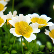 Poached Egg Plant Seed Pretty Profuse Flowering Annual