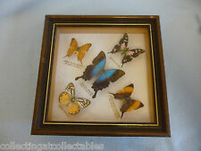 One Framed Malaysian Lot Of Five  Large Taxidermy Butterflies Various Shadowbox