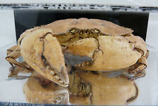 Large Taxidermy Crab in Mirror Case 11X8X2.5 Restaurant Man Cave Display Brachyu