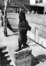 B98536 bear ours real photo bamberg altenburg germany  animals animaux