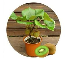 Mini Kiwi fruit seeds Bonsai Plants - 25 Fresh Seeds UK seller, BUY 2 GET 1 FREE
