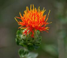 40 Saffron Flower Seeds Chinese Medicine Saffron Flower
