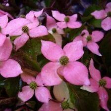 Japanischer Blumen Hartriegel Beni Fuji 100-125cm - Cornus kousa