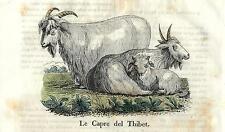 Stampa antica CAPRA DEL TIBET GOAT Cosmorama 1840 Old antique print