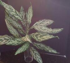 NDI Aglaonema Chinese Evergreen Faux Plant