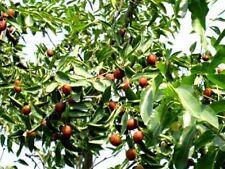 Dattelbaum Samen / Winterharte exotische Obstbäume Pflanzen für den Wintergarten