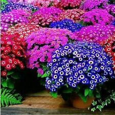 30 Seeds Mixed Cineraria Easy growing Flower Mixed Varieties Exotic flower Seeds