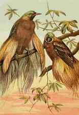 A4 Photo Unknown The Royal Natural History c1881 Birds of Paradise Print Poster