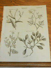 1817 Print/TYPES OF CLASS 15 TETRADYNAMIA PLANTS/ROSE OF JERICHO, SPANISH CRESS