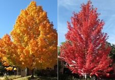 20 AUTUMN FLAME RED MAPLE SEEDS - Acer rubrum 'Autumn