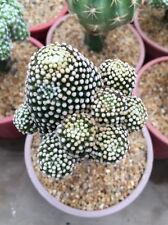 Mammillaria luethyi black # ariocarpus gymnocalycium cactus succulent plant
