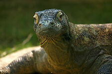 Framed Print - Komodo Dragon (Picture Poster Animal Dinosaur Reptile Art)