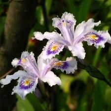 100pcs Iris orchid plant seed, Indoor potted seed Iris, beautiful color Home DIY