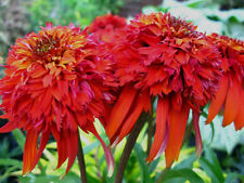 Echinacea Seeds - HOT PAPAYA - Coneflower - Deer Resistant Perennial - 15 Seeds