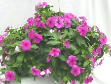 25 Vinca Seeds Cascade Beauty Purple Hanging Basket Vinca