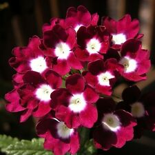 35+ VERBENA OBSESSION PERENNIAL FLOWER SEEDS /RED WITH WHITE EYE /DEER RESISTANT