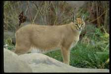 485059 Caracal Lynx Noted For Ears Tufts Reddish Coat A4 Photo Print