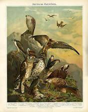 Raubvögel  Wander- Jagdfalke Mäusebussard Original Chromo von 1892 BBB 24x30 cm