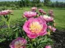 PEONY/PEONIES PLANT [BOWL OF BEAUTY]3/5 EYE