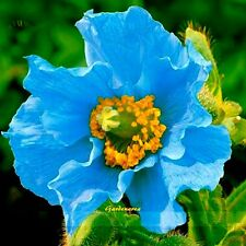 10+ Graines  Meconopsis baileyi , Himalayan blue poppy seeds