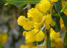 ACACIA SALIGNA 50 semi seeds Mimosa marina Orange Wattle Blue-Leafed Wattle