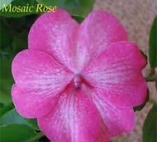 Impatiens Rose Mosaic Hybrid Seeds Annual Shade Loving or Indoor Plant No Frost