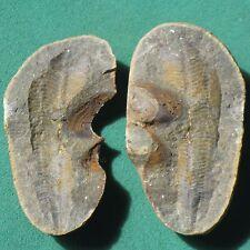 RARE FOSSIL !! CONULARIID trilobite age Devonian Bolivia mineral antique fossils