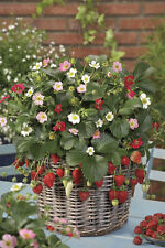 Strawberry Seeds - RAINBOW TREASURE - Great in Container - GMO FREE - 25 Seeds