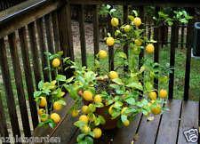"""Dwarf Lemon """" Meyer Lemon """" lime citurs Fruit Live plant - 1 Healthy Live Plant"""