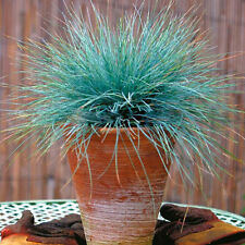 100pcs Herrliches Blau-Schwingel Gras-Samen Zier Gartendek Ziergarten Samen Neu