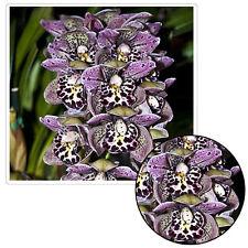 100Graine de phalaenopsis rainbow d'orchidée à semer semence arc en ciel léopard