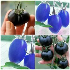 Rare Tomato Seeds Combo Pack: Blue Cherry ||  Black Cherry || 30 Seeds