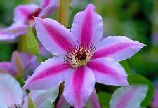 clematis Nelly Moser ( 20 seeds) Pale pink with DARKER BAR on flowers-small vine