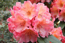Rhododendron Honey Butter  - Two Gallon Plant  - Bright Orange Blooms!