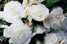 15 Pelleted Begonia Seeds Begonia Go Go White Gogo Series Begonia