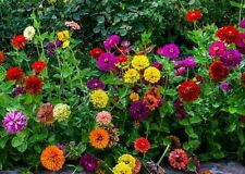 Zinnia- Sate Fair Mix- 100 Seeds- 50 % off sale