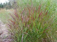 Panicum virgatum Shenandoah RED SWITCHGRASS Seeds!