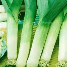 LEEK - WINTER GIANT - Allium Porrum - 500  SEEDS vegetable