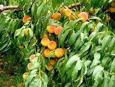 10 Nemaguard Peach Tree Seeds Fast Growing Organic Sweet Fruit Trees Orchard