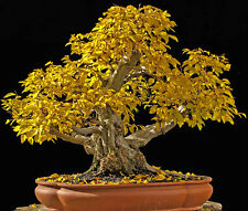 CARPINUS ORIENTALIS, CARPINO ORIENTALE, 10 SEMI, SEMI BONSAI, SEEDS