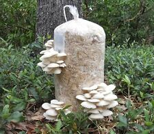 84gr//3(oz.)WHITE PEARL OYSTER /MUSHROOM SPAWN,SEEDS/FOR LOGS AND SUPSTRATS