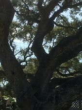 "LIVE OAK TREE (QUERCUS VIRGINIANA) GUARANTEED LIVE PLANT 15""-24"" PLANT FREE S&H"