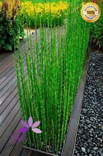 120 PCS Rare Indoors Moso Bamboo Seeds MOSO BAMBOO Tree Seeds For Home Garden