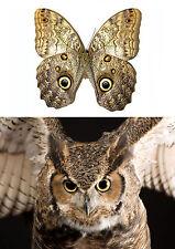Entomologie Magnifique papillon chouette Caligo brasiliensis A1!! (non étalé)