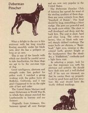 Doberman Pinscher - Vintage Dog Print - 1954 M. Dennis