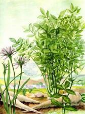 1957-Else Bostelmann:Bookplate Picture:Parsnip Plants- Antique Vtg Art Print