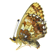 Unmounted Butterfly/Nymphalidae - Boloria angarensis herzi, FEMALE, Russia